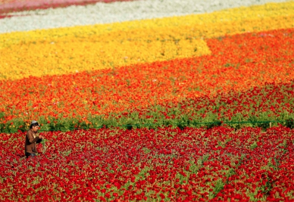 Flower Fields California Ranunculus - Carlsbad
