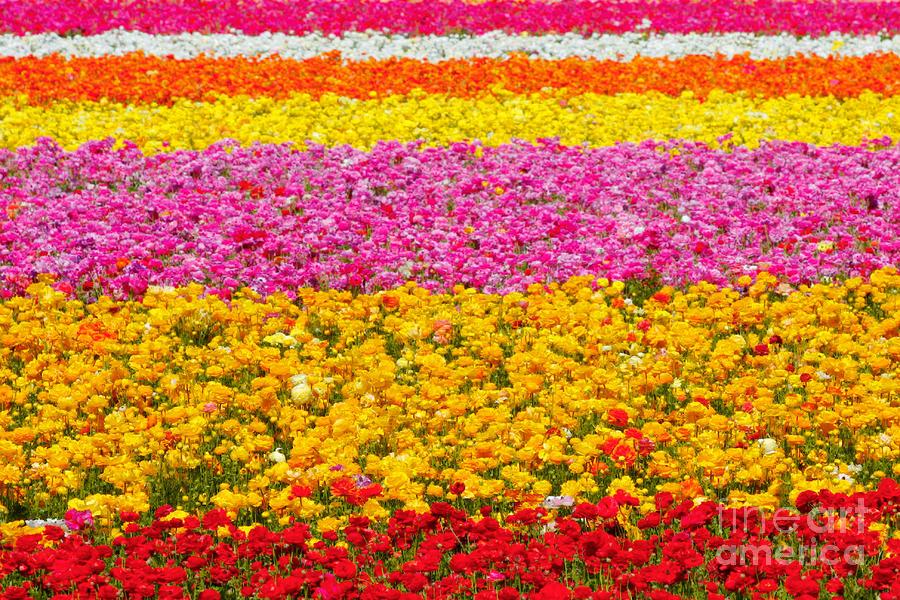 Flower Fields California Ranunculus - Rainbow
