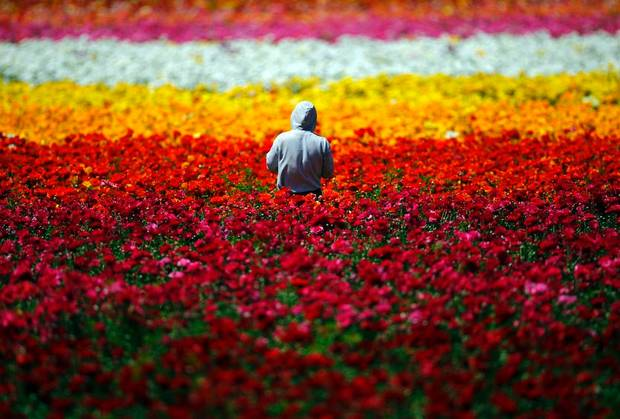 Flower Fields California Ranunculus - commercial growers