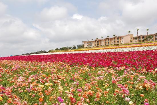 Flower Fields California Ranunculus - farm house