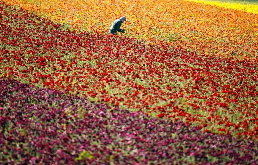 Flower Fields California Ranunculus - flower pickers