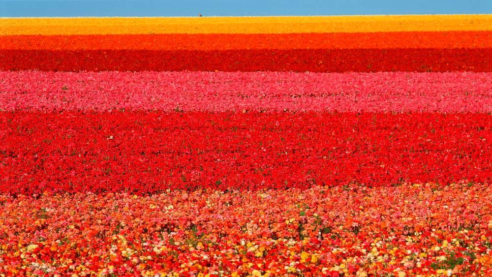 Flower Fields California Ranunculus - reds