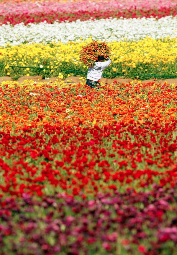Flower Fields California Ranunculus - sea of flowers