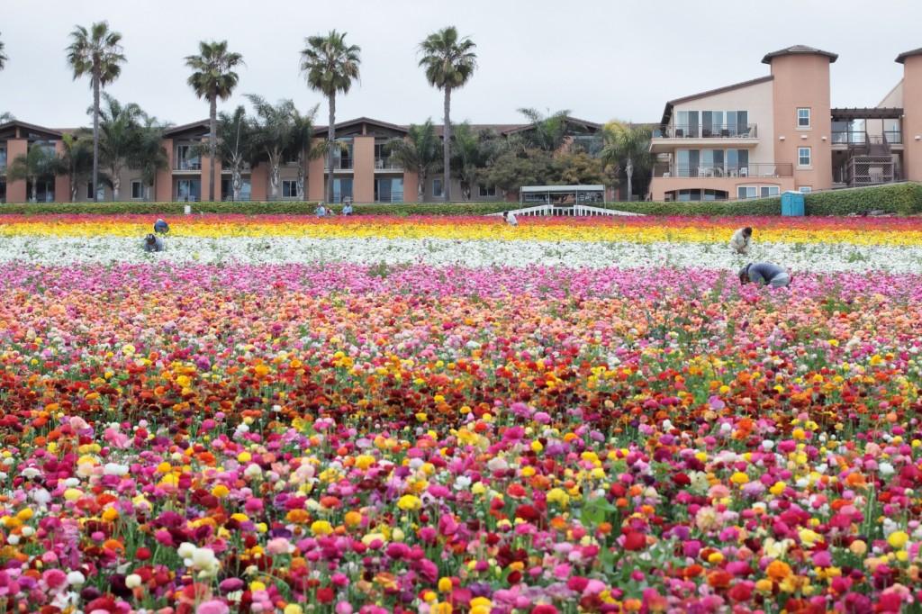 Flower Fields California Ranunculus - workers