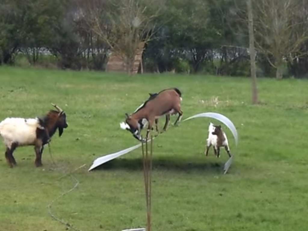Goats playing with sheet metal