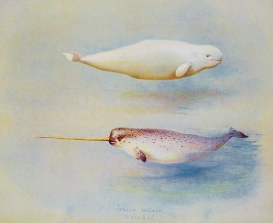 Narhwal - Beluga Comparison