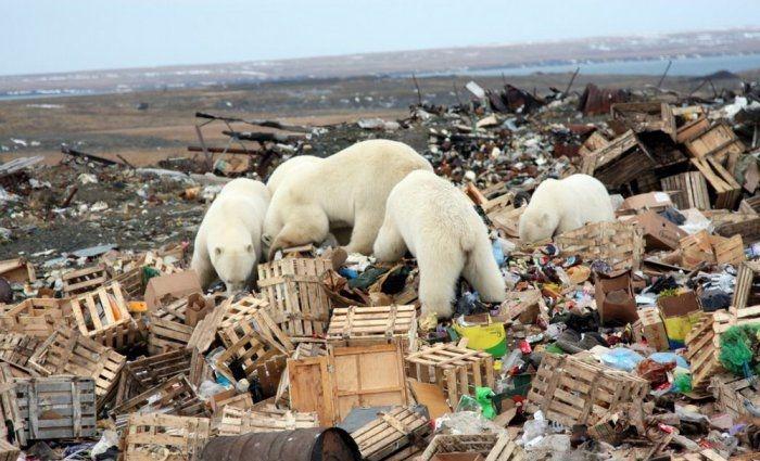 Polar Bears On Rubbish Dump