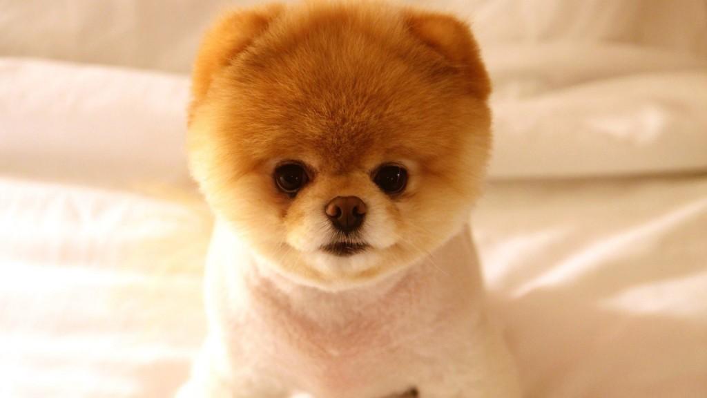 Pomeranian Puppy - cute - clipped 2