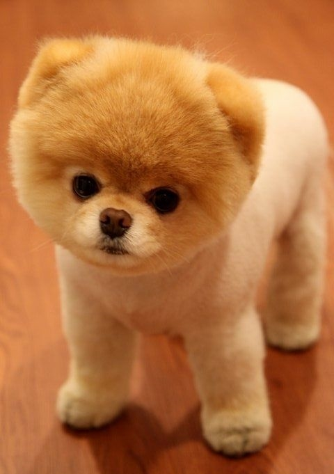 "Pomeranian Puppies: A Shameless ""AAaaahhhh CUTE!"" Post ..."