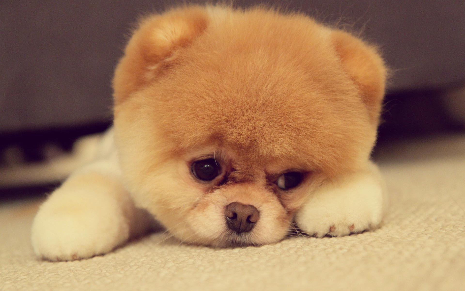 Pomeranian Puppy cute sad face Lazer Horse