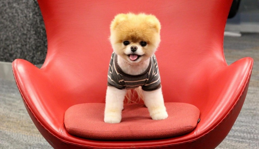 Pomeranian Puppy - on a big red chair