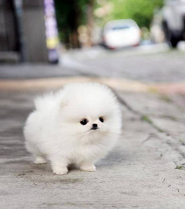 Dog that looks like a cotton ball 10