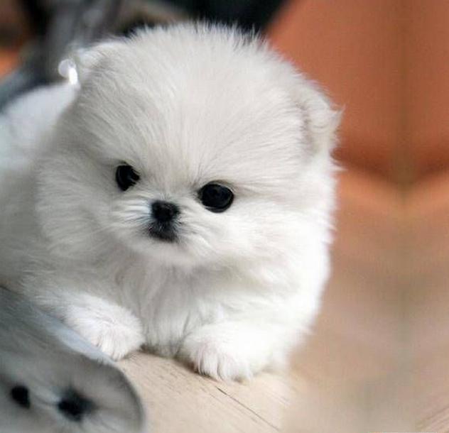 Pomeranian Puppy - white resting