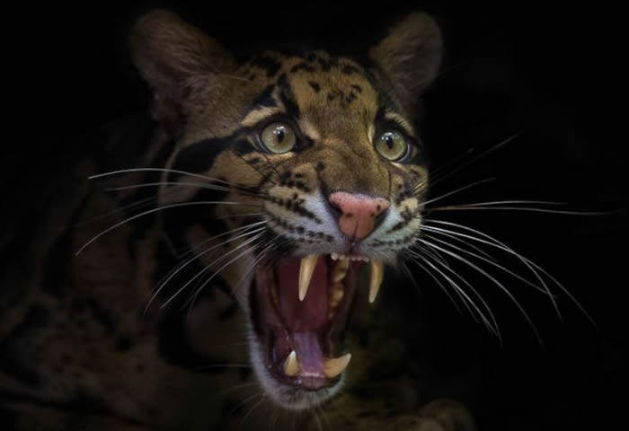 Bornean Clouded Leopard Teeth Posted Image