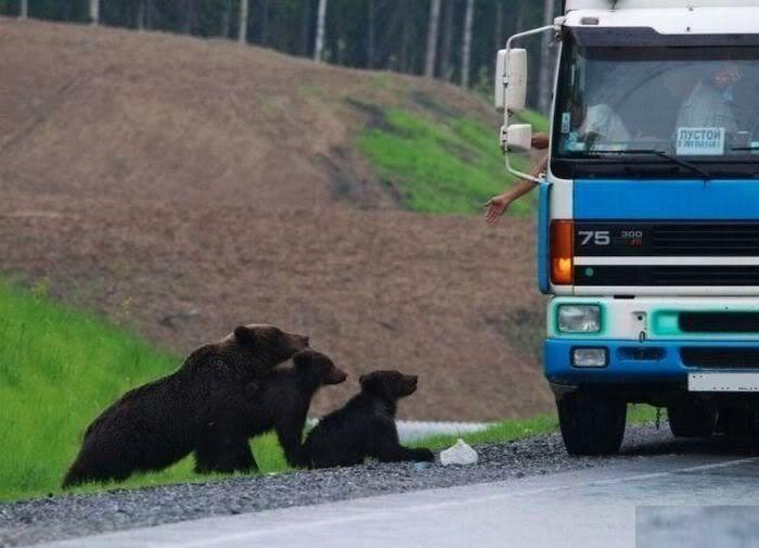 Truck driver feeding Bears Russia