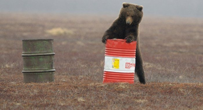 brown bear plays with an oil drum