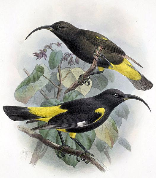 Hawai - Extinction - Hawai'i Mamo 1898
