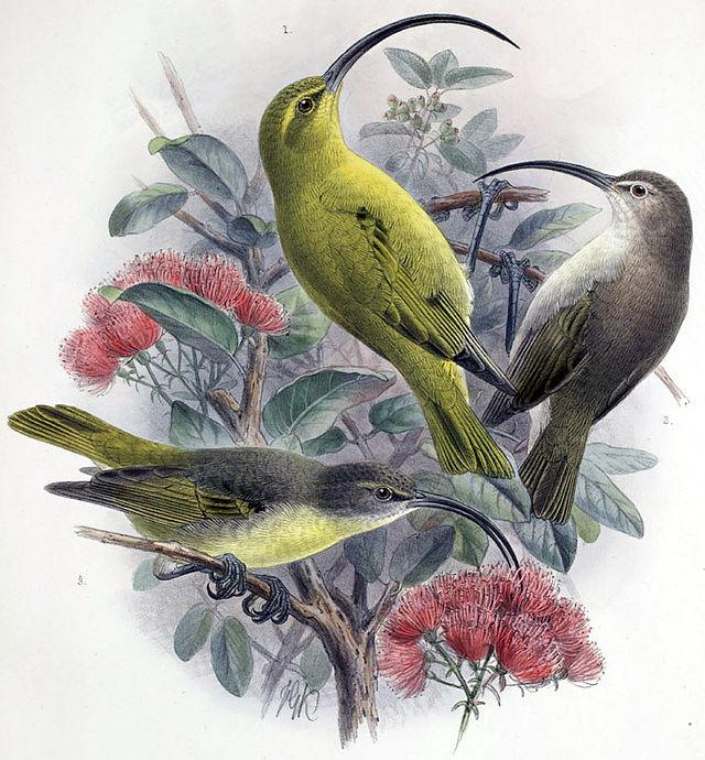 Hawai - Extinction - Kauaʻi ʻAkialoa 1965