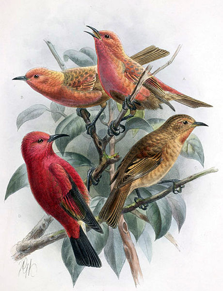 Hawai - Extinction - Laysan Honeycreeper 1923