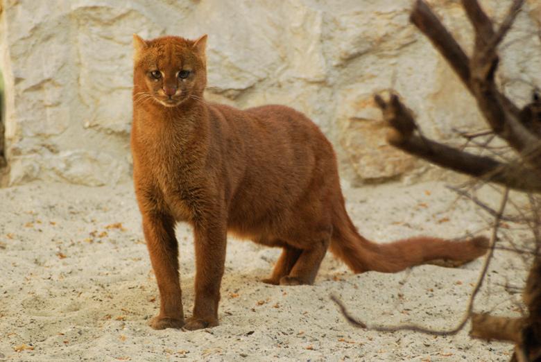 Jaguarundi - Captive Poland Zoo