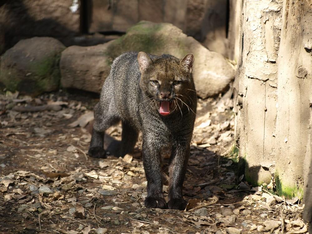 Jaguarundi - Captive