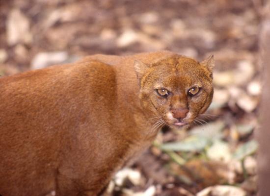 Jaguarundi - Wild Cat - Central America