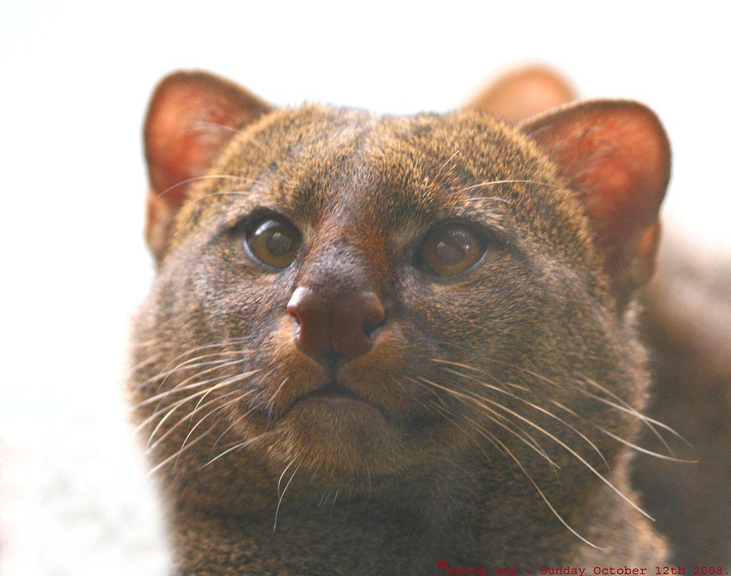 Jaguarundi - Wild Cat - South America
