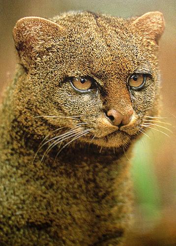 Jaguarundi - Wild Cat - face