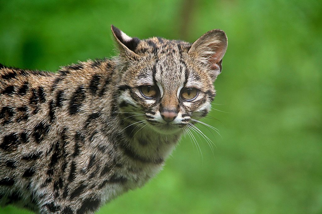 Margay Cat - Leopardus wiedii - zoo