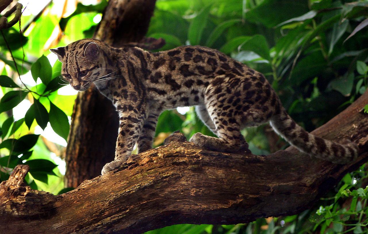 Margay Cat - Leopardus wiedii