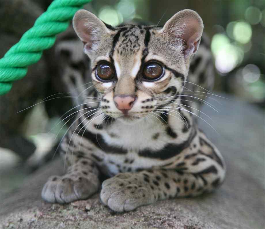 New Cat Species