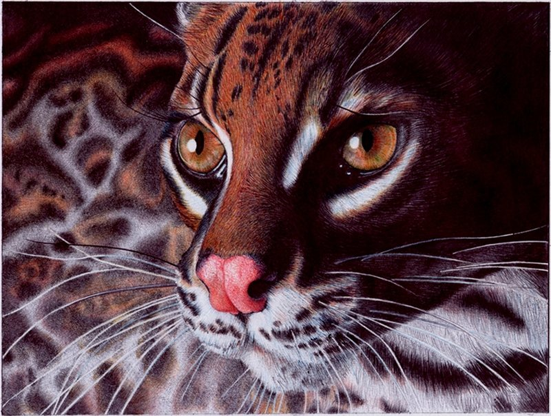 Margay are similar to the ocelot but have bigger eyes due to their