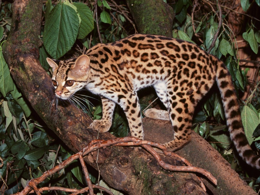 Margay - wild cat - night