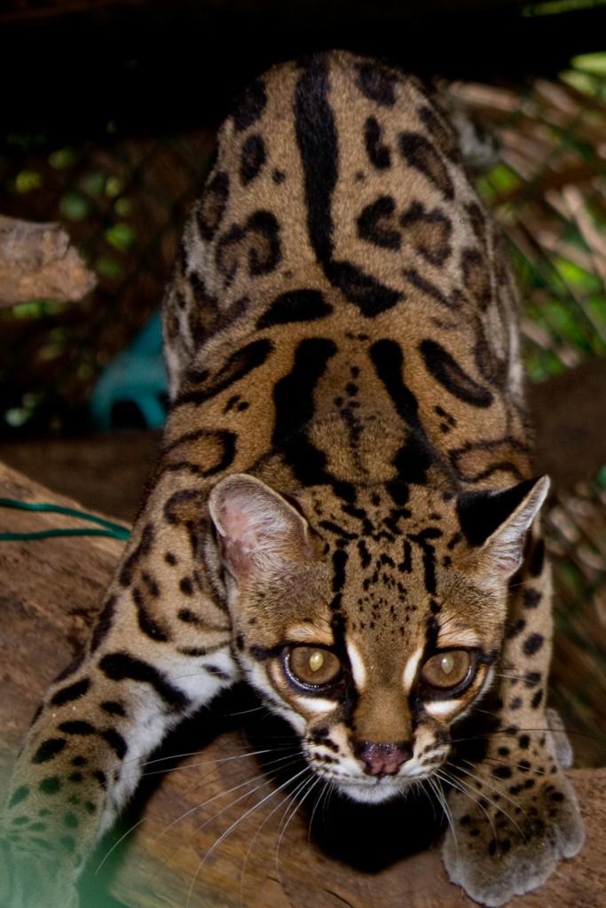 Margay - wild cat - night vision