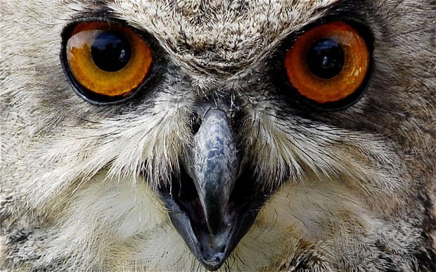 Owlman Cornwal Mawnan Eagle Owl 2