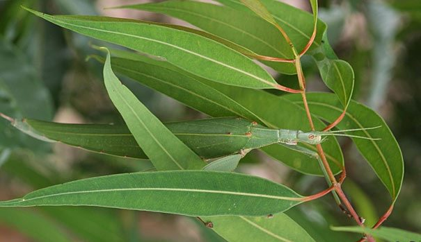 Animals Best Camouflage - Katydid 2