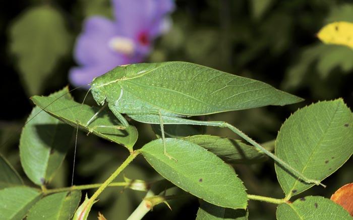Animals Best Camouflage - Katydid
