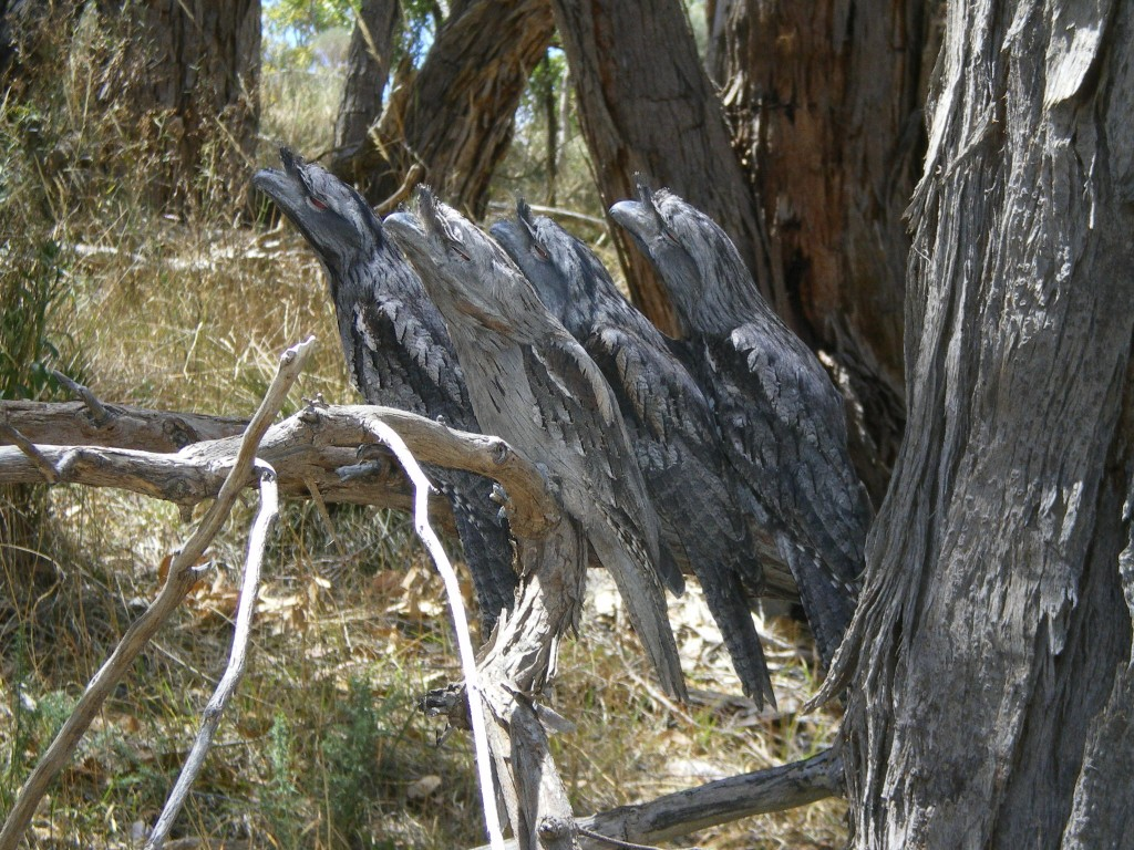 Animals Best Camouflage - Tawny Frogmouth group