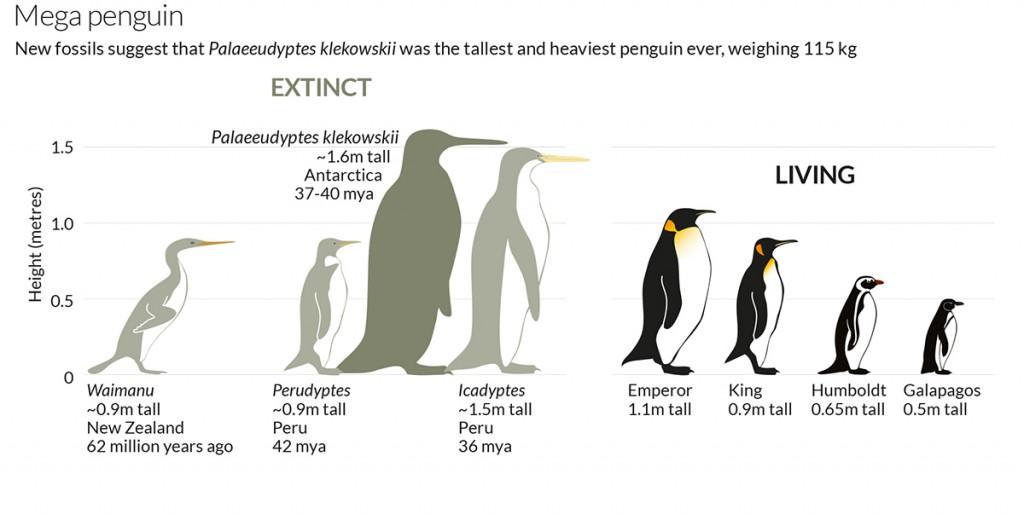 Mega Penguin Palaeeudyptes klekowskii