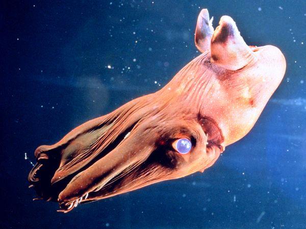 Vampire Squid - Vampyromorphida