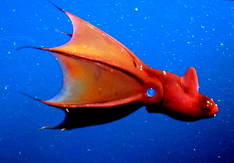 Vampire Squid - Vampyroteuthis infernalis