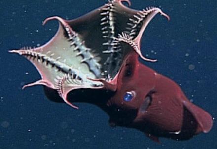 Vampire Squid - feeding
