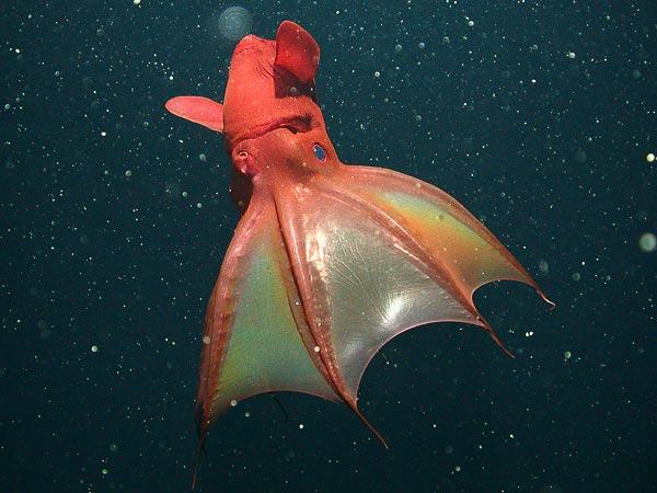Vampire Squid - image