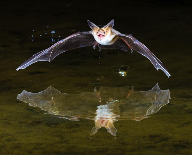Camera Trap - Pallid bat, Arizona