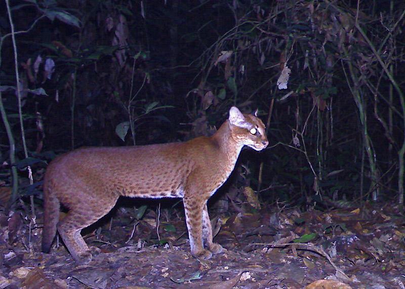 Camera Trap Pictures - African golden cat - Gabon