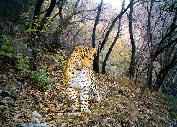 Camera Trap Pictures - China Leopard