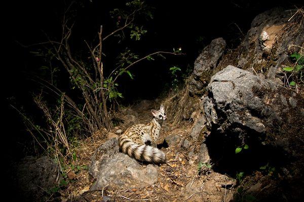 Camera Trap Pictures - Common Genet - Yemen
