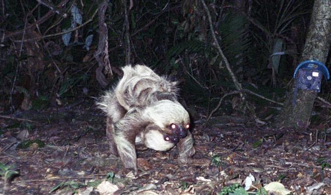 Camera Trap Pictures - Two-Toed Sloth - Ecuador
