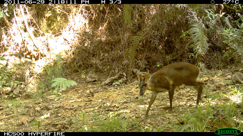 Camera Trap Pictures - barking deer - Indonesia