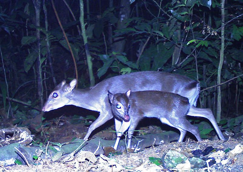 Camera Trap Pictures - blue duiker - Gabon